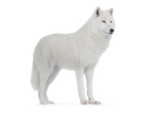 Poster de jardin Loup Polar wolf isolated on a white background.