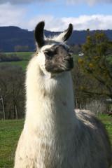 Fotorollo Lama portrait d'un lama