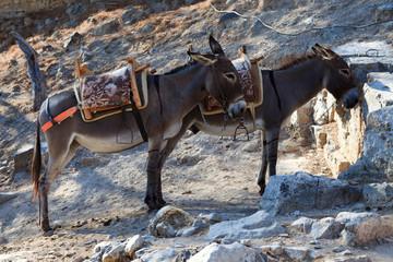 Tuinposter Ezel Lindos, Rhodes / Greece - June 23, 2014: Donkeys waiting tourist in Lindos, Rhodes, Dodecanese Islands, Greece.