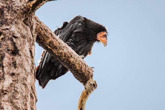 A California Condor condor perched in a dead tree, looking down at the camera
