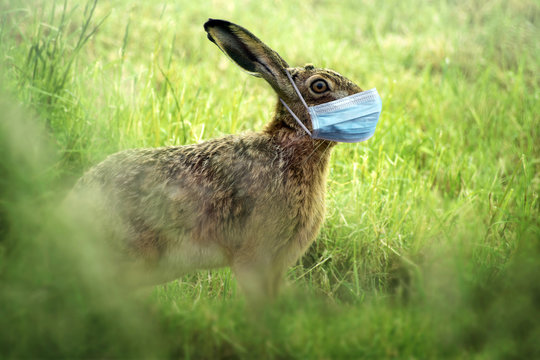 Easter bunny wears a coronavirus face mask to avoid infection during the holidays, health concept, copy space