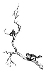 Squirrel in tree in this picture, vintage engraving.
