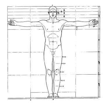 Proportions of human figure, vintage illustration