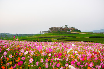Cosmos flower field with morning light In the winter in the north of Thailand