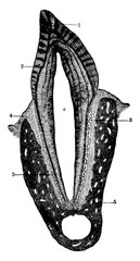 Cross section of a human tooth, vintage illustration.