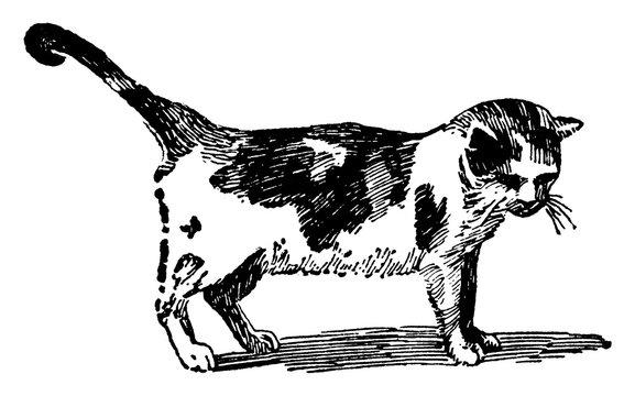 Cat/Felis catus, vintage illustration.