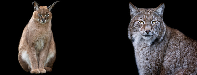Photo sur Aluminium Lynx Template of Caracal and lynx with a black background