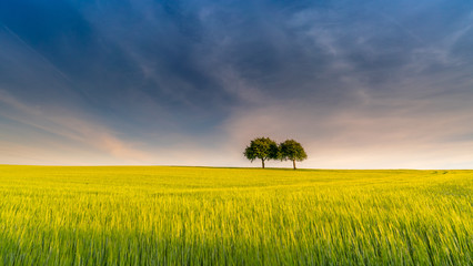 Two trees in yellow field – rural scenery in spring