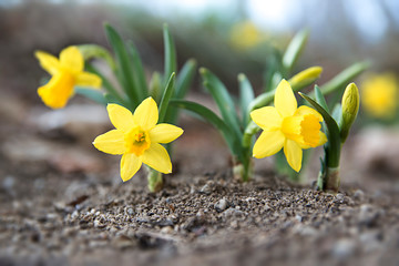 Keuken foto achterwand Narcis Mini Daffodil Flowers In Spring