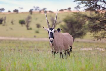 Photo sur Aluminium Antilope common antelope Gemsbok, Oryx gazella in Kalahari after rain season with green grass. Kgalagadi Transfrontier Park, South Africa wildlife safari