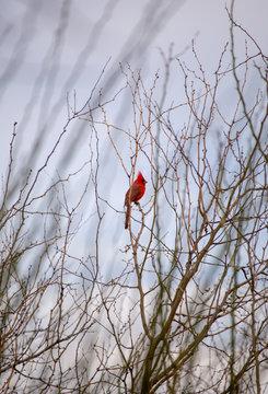 Arizona Cardinal, Red Cardinal, Desert Bird