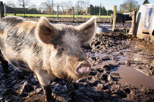 Freilandhaltung- Schwein auf einer Schlammwiese, rechts die Schutzhütte.