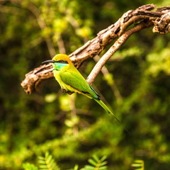 Wall Mural - View at the bird Bee-eater in Yala National Park - Sri Lanka