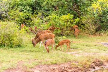 Wall Mural - View at the Deers in Yala National Park - Sri Lanka