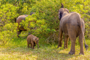 Wall Mural - View at the Asian Elephants in Yala National Park - Sri Lanka