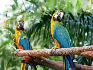 Couple de perroquet ara au jardin botanique de Deshaies en Guadeloupe
