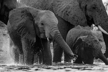 An action black and white photograph of a young elephant spraying water at a waterhole while drinking in the Madikwe game Reserve, South Africa. Wall mural