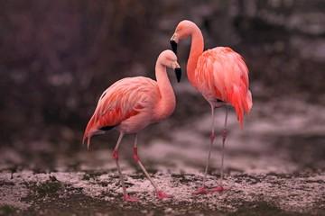 Foto op Canvas Flamingo Pink Flamingos on Brown Soil