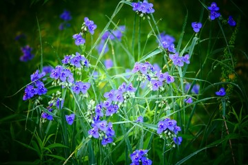 Selective focus shot of Spiderwort wildflowers growing in Missouri with a blurry background