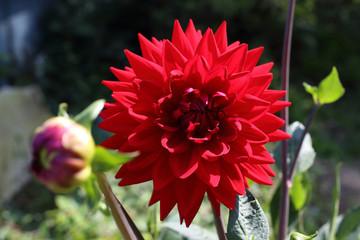 Growing red dahlia flower in garden