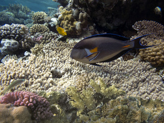 Wall Mural - Colorful coral reef with tropical Sohal surgeonfish.