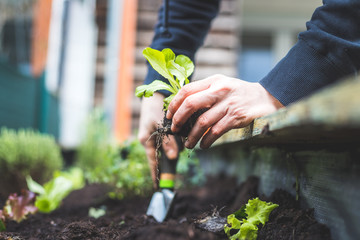 Wall Murals Garden Urban gardening: Woman is planting fresh vegetables and herbs on fruitful soil in the own garden, raised bed. Salad.