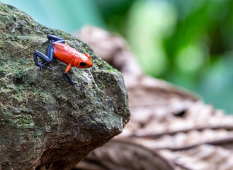 Strawberry Poison Dart Frog Wall mural