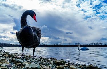 Foto op Canvas Zwaan der schwarze Schwan; the black swan, schwarzer Schwan am Ufer vor dramatischem Wolkenhimmel und weißem Schwan im Hintergrund