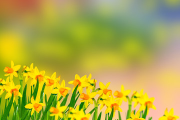 Autocollant pour porte Jaune Spring flowers of daffodils.