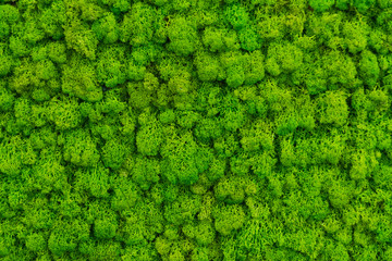 Green moss as a background grows in the interior of the office on the wall. Texture of angry moss...