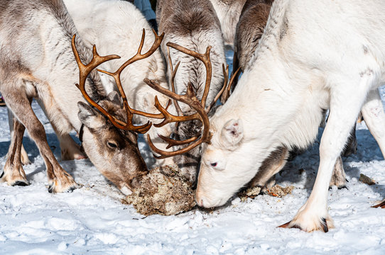 Rentiergruppe in Lappland Schweden