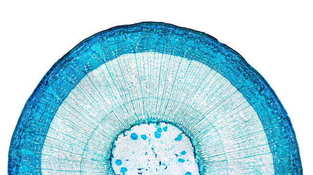 Stem of wood dicotyledon, half cross section under microscope. Light microscope slide with the microsection of a wood stem with vascular bundles, concentric arranged in a ring. Plant anatomy. Photo.