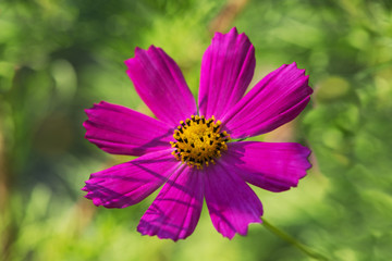 Wall Mural - Cosmos flower with blurred background