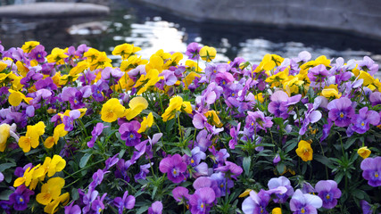 Multicolor pansy flowers or pansies as background or card