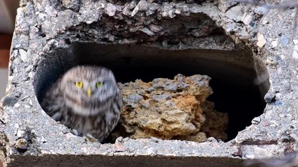 Fototapete - A small owl in its natural habitat near a burrow (Athene noctua)