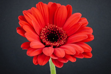 Close-up of a bright red gerbera daisy flower isolated on a black background