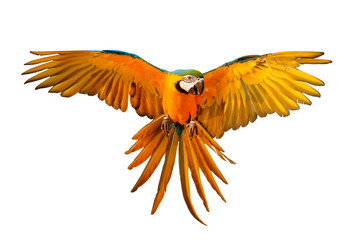 Fond de hotte en verre imprimé Perroquets Blue and gold macaw parrot flying isolated on white