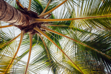 Coconut palm trees bottom view, close up. Palm tree with coconuts outdoors. Wall mural