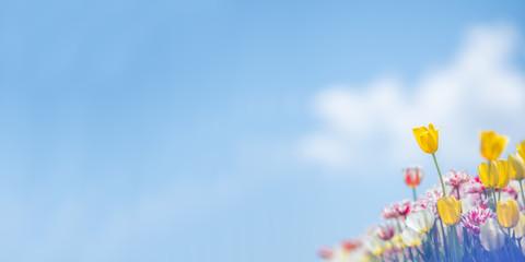 青空背景の黄色いチューリップ