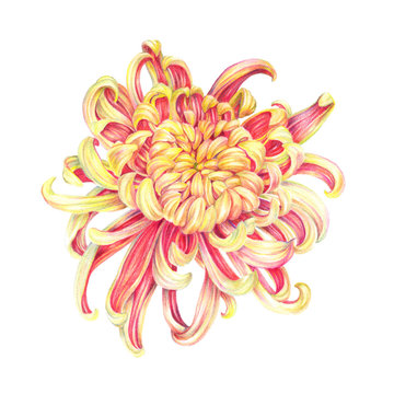 Chinese Chrysanthemum Flower, Japanese Chrysanthemum