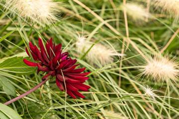 Markante rote Blume vor einem Meer aus Gräsern