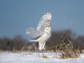 Papiers peints Chouette Female Snowy Owl Taking Off From Snow Field in Winter