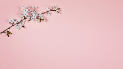 Cherry flowers on a pink background. Spring blooming branches, flat lay. Spring border background, flowering twig.