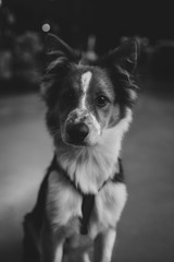 Czarno-biały portret szczeniaka border collie