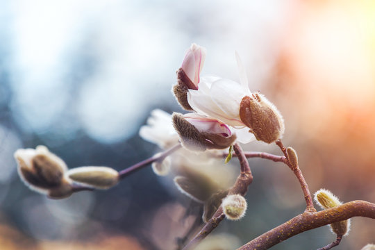 blooming white magnolia tree over nature background, fresh spring flowers background