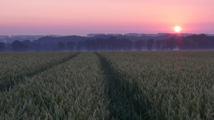 Poster Light pink sunset over wheat field