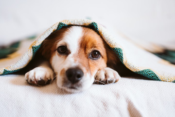 cute jack russell dog covered with ethnic blanket sitting on the couch at home. Lifestyle indoors