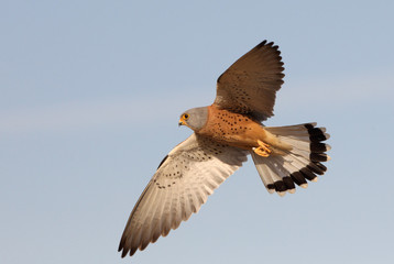 Male of Lesser kestrel flying, falcons, birds, lesser, kestrel, Falco naumanni Fotomurales