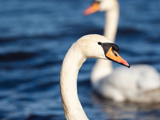 Close-up portrait of a swan on the lake