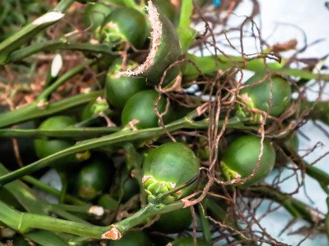 Fresh betel nut. Branch of fresh betel nut.